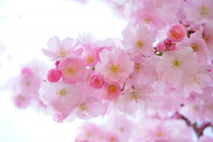 japanese-cherry-trees-flowers-spring-japanese-flowering-cherry-54630